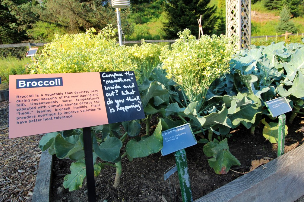 Climate Change Garden broccoli