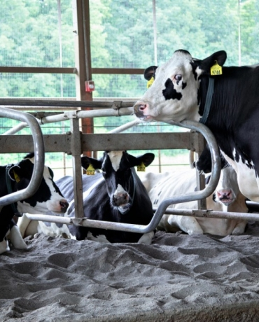 Cows relax in the sandy stalls of the College of Veterinary Medicine's Teaching Dairy Barn.